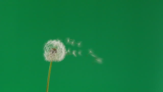 Slow motion dandelion flower seeds blowing away by wind