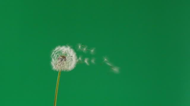 vídeos de stock, filmes e b-roll de sementes de flores de dente-de-leão em câmera lenta soprando pelo vento - primavera estação do ano