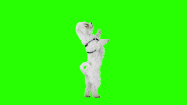 Slow motion dog dance on green screen. video