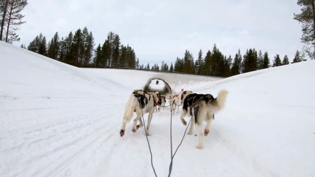 slow motion: dog musher point of view control dog sledding at dusk in finland - malamute video stock e b–roll