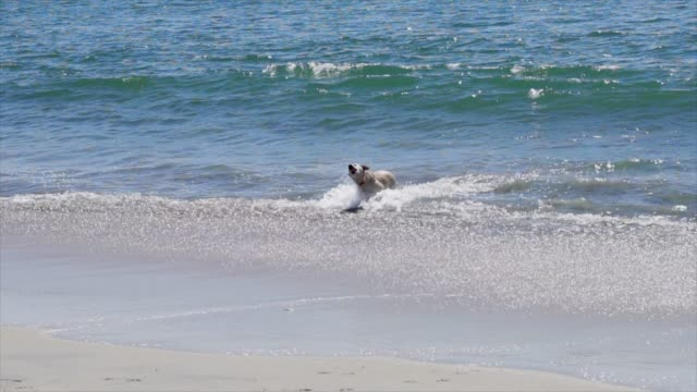 slow motion dog runs out of water shakes off water video