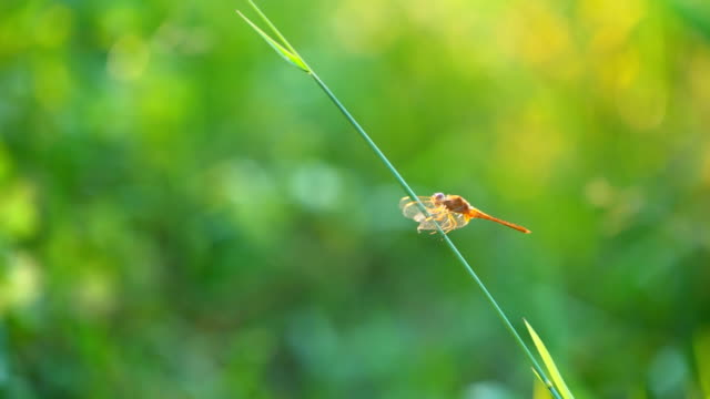 Slow motion dragonfly flying on grass in grassland pasture