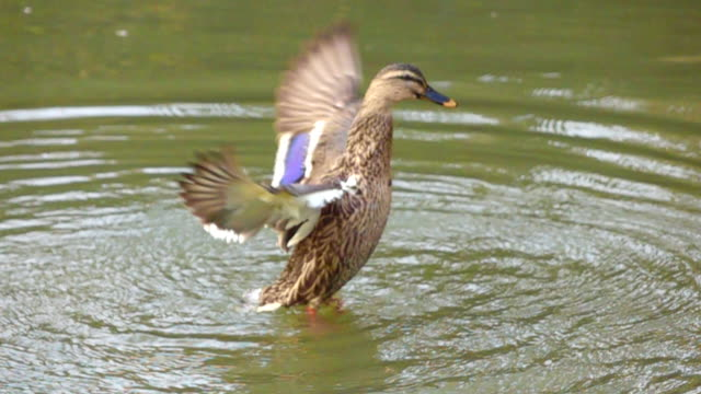 Slow motion Duck flying