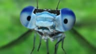 istock slow motion extreme close up of a blue damsel front view 970557340