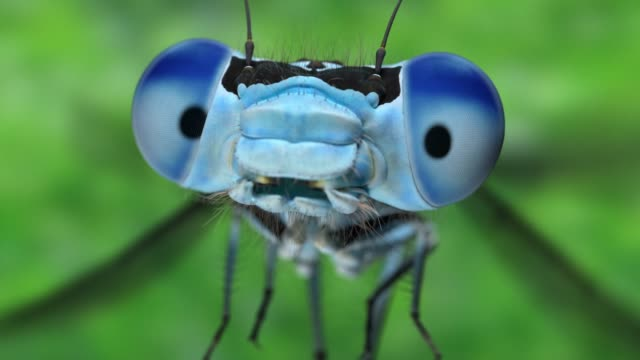 slow motion extreme close up of a blue damsel front view video