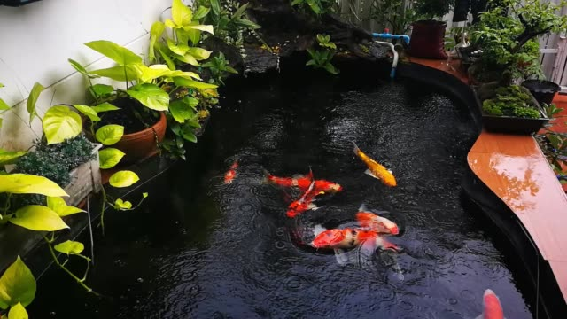 Slow Motion Fancy Carp (Koi) swimming around in the pond on a rainy day.