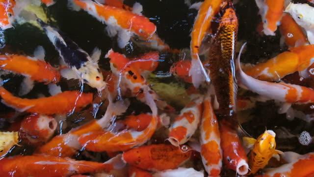 ağır çekim renkli süslü sazan besleme koi balık carps gıda havuzda full hd için rekabet kalabalık. - full hd format stok videoları ve detay görüntü çekimi