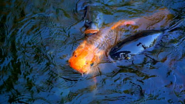 vídeos de stock, filmes e b-roll de peixes de alimentação em câmera lenta na lagoa, muitos peixes comendo alimentos na agricultura agrícola, relaxante e tempo de férias para as pessoas, alimento orgânico para peixes de tilápia do nilo no rio, conceito de fazenda orgânica - costumer
