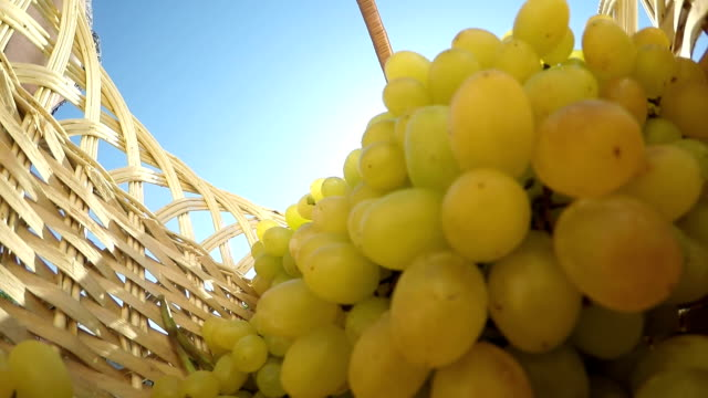 Slow Motion: Female gardener placing seedless white grape bunches inside basket video