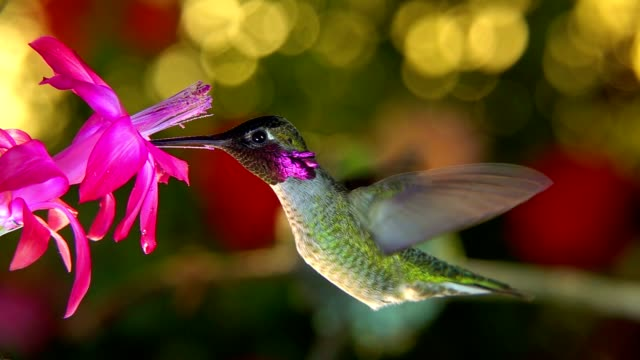 Slow motion female hummingbird taking off and chasing male away from flower