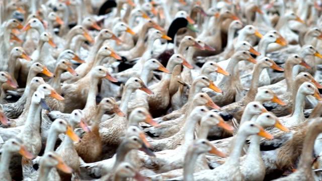 Slow motion FHD footage of huge flock of ducks walking and moving in farm, Behaviour and Domestic animal concept