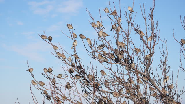 Slow motion Flock of sparrows on the bare tree
