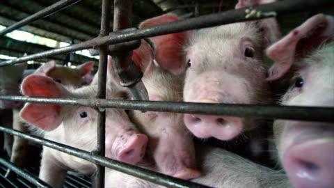 4k riprese al rallentatore primo piano di giovani maiali in azienda allevamento di suini, bestiame e concetto di animale domestico - agricoltura video stock e b–roll