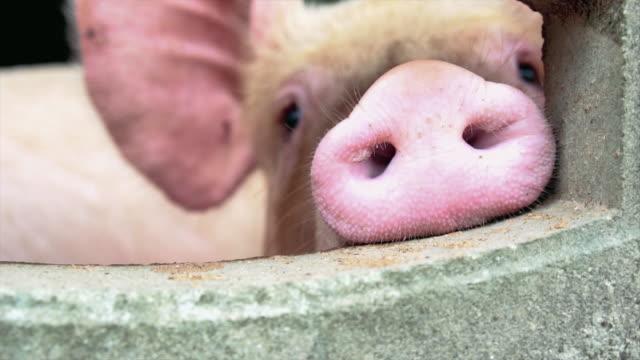 4k slow-motion aufnahmen closeup nase von jungen schweinen im werk schwein, bauernhof, tiere und tierische inlandskonzept - schwein stock-videos und b-roll-filmmaterial