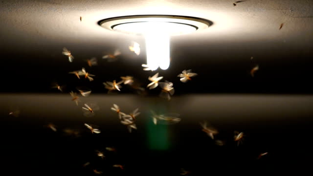slow motion footage of Mayflies swarming and flying the light, bug life concept video