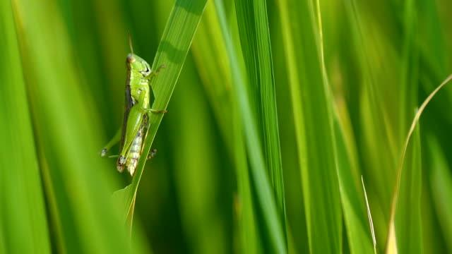 slow-motion heuschrecke auf grüne pflanze reisfeld - grashüpfer stock-videos und b-roll-filmmaterial