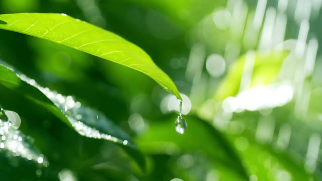 HD slow motion : Green leaf with water drop water on green sunny background