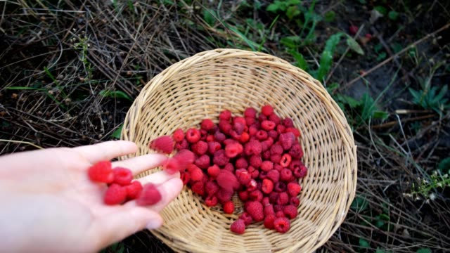 Slow motion hand drops ripe red juicy raspberry in the garden