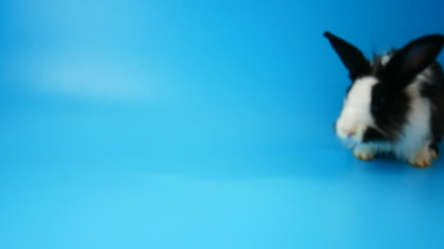 Slow motion, Happiness rabbit clearing and move on blue screen