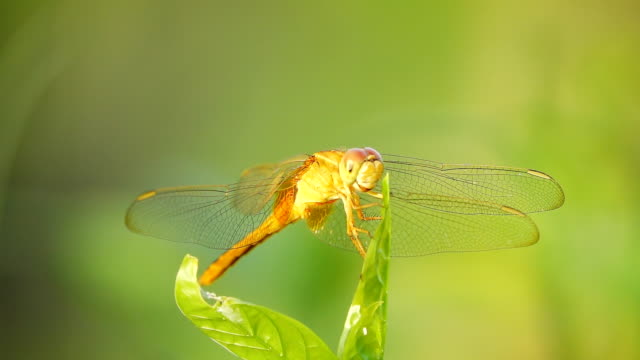 Slow motion HD: Red Dragonfly video