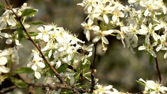 Slow Motion HD video Of Bees On Almond Tree video