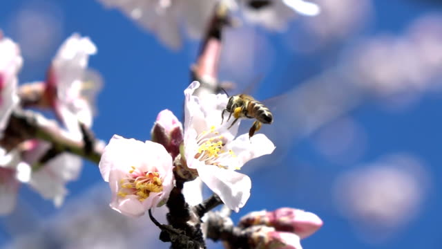 Slow Motion Hd Video Of Honey Bee On Almond Flower Over Blue Sky video
