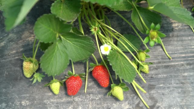 Slow Motion HD Video Of Strawberry Plant In Garden video