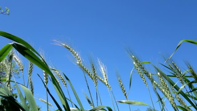 Slow Motion HD Video Of Wheat Heads On Blue Sky video
