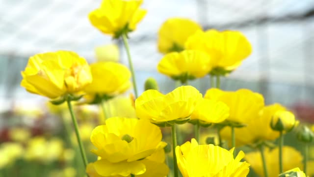 Slow Motion HD Video Of Yellow Ranunculus Flowers video