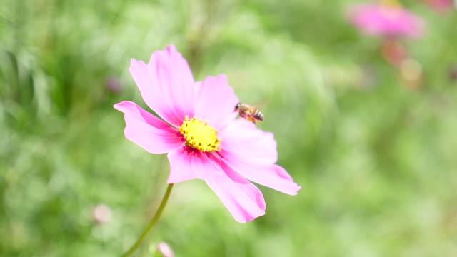 スローモーション:ミツバチが黄色い花に花粉を集める ビデオ