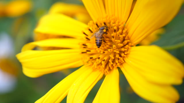 slow motion : honey bee collecting pollen on yellow blossom flower - coreopsis lanceolata video stock e b–roll