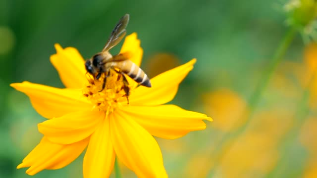 slow motion : honey bee collecting pollen on yellow blossom flower - ape operaia video stock e b–roll