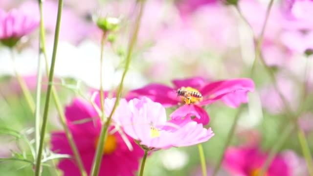 slow motion : honey bee flying and collecting pollen on pink blossom flower - coreopsis lanceolata video stock e b–roll
