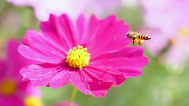 slow motion : miele ape volare e raccogliere polline su fiore rosa fiore - coreopsis lanceolata video stock e b–roll