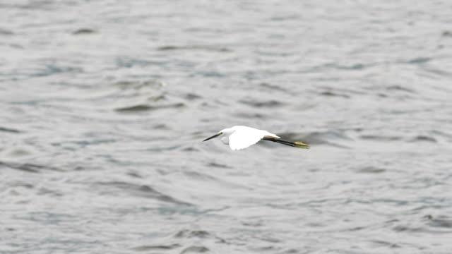 Slow motion: Little Egret fying video