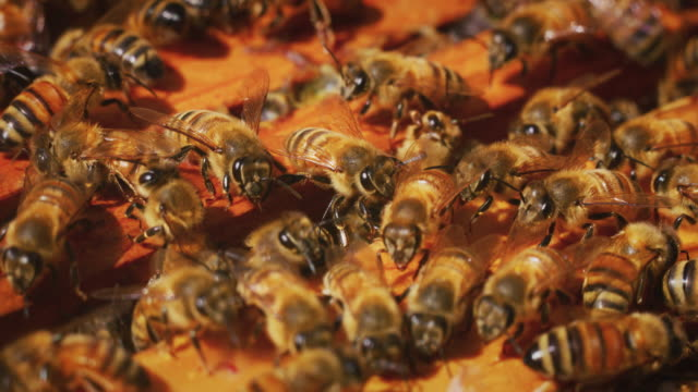 Slow motion macro close up of homegrown bees making honeycombs for procreation