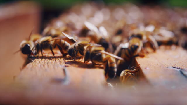 slow motion macro close up of homegrown bees making honeycombs for procreation - ape operaia video stock e b–roll