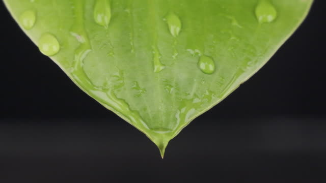 Ralenti. Plan rapproché macro, gouttes de pluie tombant sur une feuille verte. Des jets d'eau coulent le long de la feuille. - Vidéo