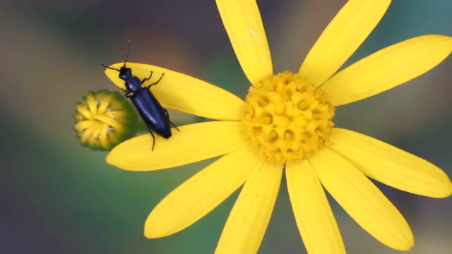 slow motion, macro, little beetle crawls on yellow flower - жук стоковые видео и кадры b-roll