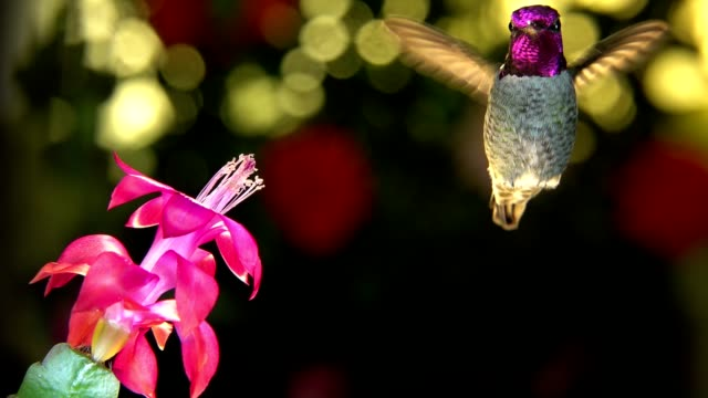 Slow motion male hummingbird make 3 right turns before visiting the pink flower video
