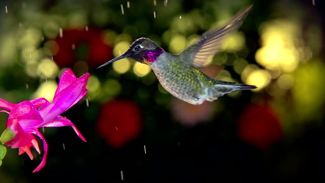 Slow motion male hummingbird visits pink flower on rainy day A super slow motion full HD footage of a male hummingbird visiting pink flower on rainy day hovering stock videos & royalty-free footage