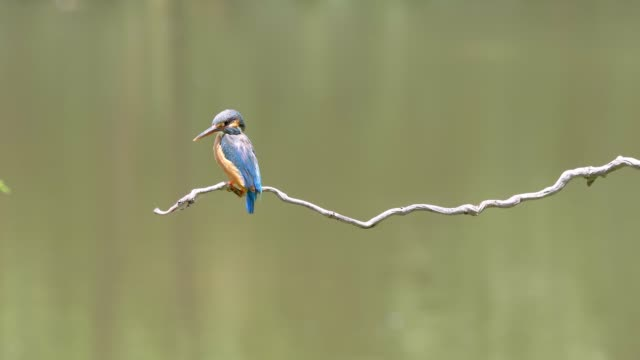 slow motion movie of the scene that bird kingfisher (alcedo atthis) stand on the branch, looking around alertly, it is good at catch fish, 4k footage. - animale selvatico video stock e b–roll