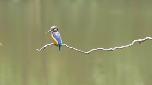 vidéos et rushes de film au ralenti de la scène que l'oiseau kingfisher (alcedo atthis) se tenir sur la branche, en regardant autour d'alerte, il est bon à attraper des poissons, 4k images. - animaux à l'état sauvage
