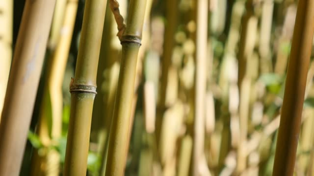 slow motion nature and poaceae family bamboo plant stalks on wind 1080p hd video - bambusoideae forest with a lot of green plants slow-mo natural background 1920x1080 fullhd footage - сахарный тростник стоковые видео и кадры b-roll