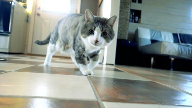 slow motion av en katt spelar och jakt - katt inomhus bildbanksvideor och videomaterial från bakom kulisserna