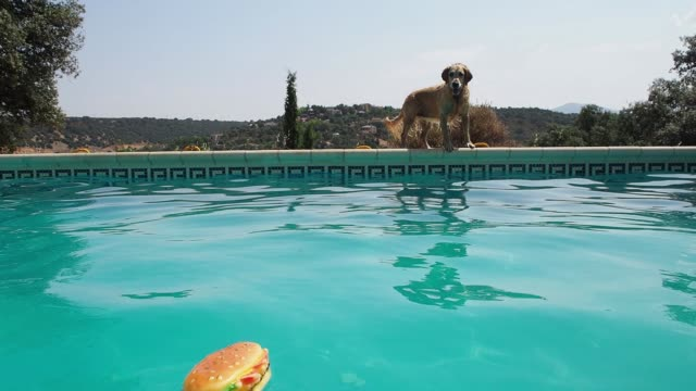 vídeos de stock e filmes b-roll de slow motion of a golden retriever jumping into a pool and catching a toy - brinquedos na piscina