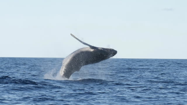 17% slow motion of a humpback whale in a near vertical breach at merimbula - saltare video stock e b–roll