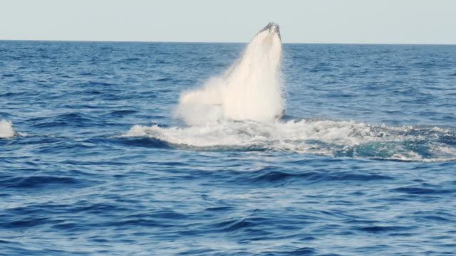 vidéos et rushes de 17 % le mouvement lent d'une jeune baleine à bosse, émergeant d'un manquement à merimbula - baleine