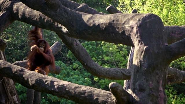 zeitlupe des erwachsenen bornean orang-utan kletterte auf top-baum im wald - bedrohte tierart stock-videos und b-roll-filmmaterial