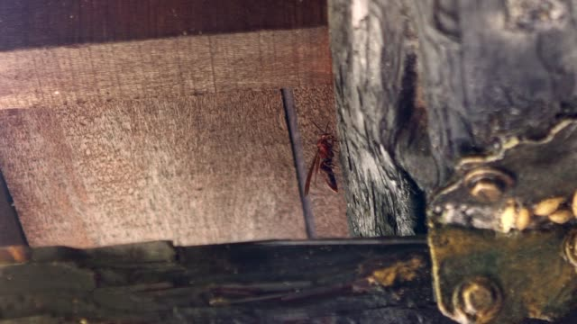 vídeos de stock e filmes b-roll de slow motion of an asian giant hornet in taiwan, also called vespa velutina. - velutina